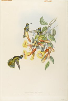 John Gould (British, 1804-1881). <em>Petasophora Thalassina: Mexican Violet Ear</em>. Lithograph in color on wove paper, 21 1/2 x 14 3/8 in. (54.6 x 36.5 cm). Brooklyn Museum, Gift of the Estate of Emily Winthrop Miles, 64.98.230 (Photo: Brooklyn Museum, 64.98.230_PS9.jpg)