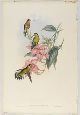 John Gould (British, 1804-1881). <em>Chrysobronchus Viresceus</em>. Lithograph in color on wove paper, 21 1/2 x 14 3/8 in. (54.6 x 36.5 cm). Brooklyn Museum, Gift of the Estate of Emily Winthrop Miles, 64.98.231 (Photo: Brooklyn Museum, 64.98.231_PS9.jpg)