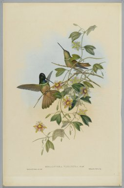 John Gould (British, 1804-1881). <em>Helianthea Violifera: Violet Throated Star Frontlet</em>. Lithograph in color on wove paper, 21 1/2 x 14 3/8 in. (54.6 x 36.5 cm). Brooklyn Museum, Gift of the Estate of Emily Winthrop Miles, 64.98.232 (Photo: Brooklyn Museum, 64.98.232_PS2.jpg)