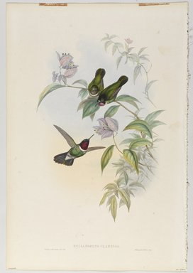 John Gould (British, 1804-1881). <em>Heliangelus Clarisse: Sun Angel</em>. Lithograph in color on wove paper, 21 1/2 x 14 3/8 in. (54.6 x 36.5 cm). Brooklyn Museum, Gift of the Estate of Emily Winthrop Miles, 64.98.233 (Photo: Brooklyn Museum, 64.98.233_PS9.jpg)