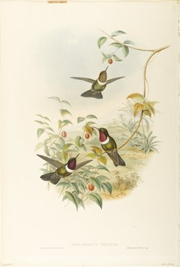 John Gould (British, 1804-1881). <em>Heliangelus Spencei: Spenser's Sun Angel</em>. Lithograph in color on wove paper, 21 1/2 x 14 3/8 in. (54.6 x 36.5 cm). Brooklyn Museum, Gift of the Estate of Emily Winthrop Miles, 64.98.234 (Photo: Brooklyn Museum, 64.98.234_PS9.jpg)