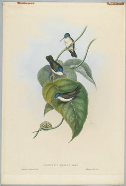 John Gould (British, 1804-1881). <em>Cyanomyia Quadricolor: Four Color Crown</em>. Lithograph in color on wove paper, 21 1/2 x 14 3/8 in. (54.6 x 36.5 cm). Brooklyn Museum, Gift of the Estate of Emily Winthrop Miles, 64.98.235 (Photo: Brooklyn Museum, 64.98.235_PS2.jpg)