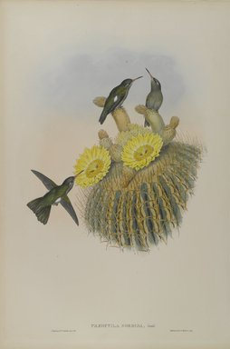 John Gould (British, 1804-1881). <em>Phaeoptila Sordida: Dusky</em>. Lithograph in color on wove paper, 21 1/2 x 14 3/8 in. (54.6 x 36.5 cm). Brooklyn Museum, Gift of the Estate of Emily Winthrop Miles, 64.98.236 (Photo: Brooklyn Museum, 64.98.236_PS4.jpg)