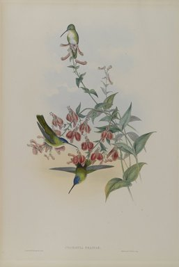 John Gould (British, 1804-1881). <em>Cyanomyia Franciae: Francia's Azure-Crown</em>. Lithograph on wove paper, 21 1/2 x 14 3/8 in. (54.6 x 36.5 cm). Brooklyn Museum, Gift of the Estate of Emily Winthrop Miles, 64.98.237 (Photo: Brooklyn Museum, 64.98.237_PS4.jpg)