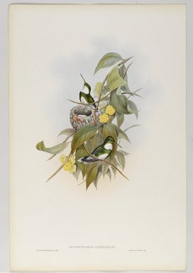 John Gould (British, 1804-1881). <em>Leucochloris Albicollis: White Throat or Papa Branca</em>. Lithograph in color on wove paper, 21 1/2 x 14 3/8 in. (54.6 x 36.5 cm). Brooklyn Museum, Gift of the Estate of Emily Winthrop Miles, 64.98.238 (Photo: Brooklyn Museum, 64.98.238_PS9.jpg)
