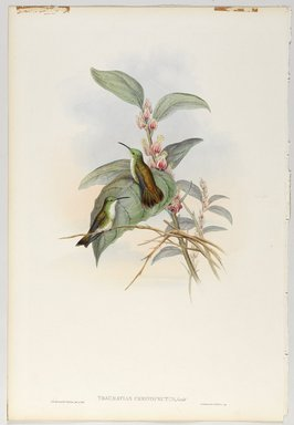 John Gould (British, 1804-1881). <em>Thaumatias Chionopectus: Emerald</em>. Lithograph in color on wove paper, 21 1/2 x 14 3/8 in. (54.6 x 36.5 cm). Brooklyn Museum, Gift of the Estate of Emily Winthrop Miles, 64.98.239 (Photo: Brooklyn Museum, 64.98.239_PS9.jpg)