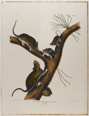 John James  Audubon (American, born Haiti, 1785-1851). <em>Florida Rat</em>. Lithograph, 27 x 21 in. (68.6 x 53.3 cm). Brooklyn Museum, Gift of the Estate of Emily Winthrop Miles, 64.98.23 (Photo: Brooklyn Museum, 64.98.23_IMLS_PS4.jpg)