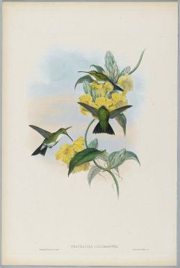 John Gould (British, 1804-1881). <em>Thaumatias Leucogaster: White Throated Emerald</em>. Lithograph in color on wove paper, 21 1/2 x 14 3/8 in. (54.6 x 36.5 cm). Brooklyn Museum, Gift of the Estate of Emily Winthrop Miles, 64.98.240 (Photo: Brooklyn Museum, 64.98.240_PS2.jpg)