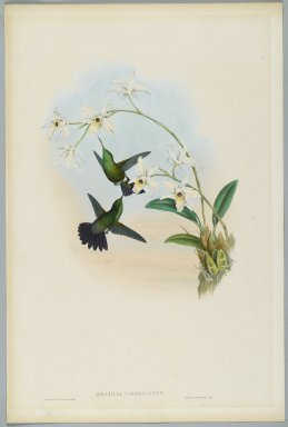 John Gould (British, 1804-1881). <em>Amazilia Viridigaster: Green Bellied Amazili</em>. Lithograph in color on wove paper, 21 1/2 x 14 3/8 in. (54.6 x 36.5 cm). Brooklyn Museum, Gift of the Estate of Emily Winthrop Miles, 64.98.243 (Photo: Brooklyn Museum, 64.98.243_PS2.jpg)