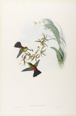 John Gould (British, 1804-1881). <em>Erythronota Antiqua: Old Erythronote</em>. Lithograph in color on wove paper, 21 1/2 x 14 3/8 in. (54.6 x 36.5 cm). Brooklyn Museum, Gift of the Estate of Emily Winthrop Miles, 64.98.245 (Photo: Brooklyn Museum, 64.98.245_PS9.jpg)
