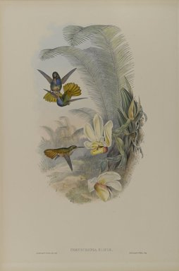 John Gould (British, 1804-1881). <em>Chrysuronia Eliciae: Elicia's Golden Tail</em>. Lithograph on wove paper, 21 1/2 x 14 3/8 in. (54.6 x 36.5 cm). Brooklyn Museum, Gift of the Estate of Emily Winthrop Miles, 64.98.247 (Photo: Brooklyn Museum, 64.98.247_PS4.jpg)