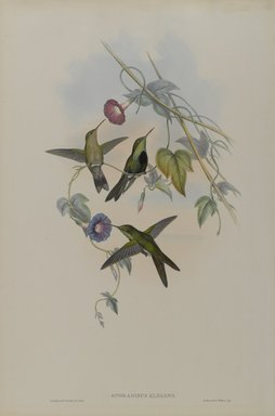 John Gould (British, 1804-1881). <em>Sporadinus Elegans: St. Domingo Humming Bird</em>. Lithograph on wove paper, 21 1/2 x 14 3/8 in. (54.6 x 36.5 cm). Brooklyn Museum, Gift of the Estate of Emily Winthrop Miles, 64.98.248 (Photo: Brooklyn Museum, 64.98.248_PS4.jpg)