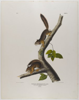 John James  Audubon (American, born Haiti, 1785-1851). <em>Columbian Squirrel</em>. Lithograph, 28 x 21 7/8 in. (71.1 x 55.6 cm). Brooklyn Museum, Gift of the Estate of Emily Winthrop Miles, 64.98.24 (Photo: Brooklyn Museum, 64.98.24_IMLS_PS4.jpg)
