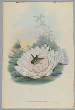 John Gould (British, 1804-1881). <em>Chlorostilbon Portmanni: Portmann's Emerald</em>. Lithograph in color on wove paper, 21 1/2 x 14 3/8 in. (54.6 x 36.5 cm). Brooklyn Museum, Gift of the Estate of Emily Winthrop Miles, 64.98.250 (Photo: Brooklyn Museum, 64.98.250_PS2.jpg)