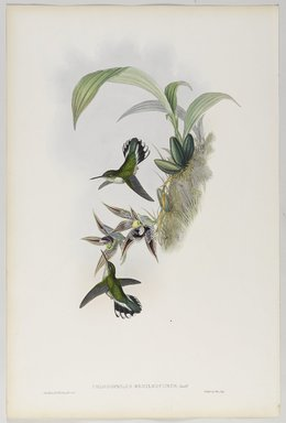 John Gould (British, 1804-1881). <em>Phlogophilus Hemileucurus: Pied Tailed</em>. Lithograph in color on wove paper, 21 1/2 x 14 3/8 in. (54.6 x 36.5 cm). Brooklyn Museum, Gift of the Estate of Emily Winthrop Miles, 64.98.251 (Photo: Brooklyn Museum, 64.98.251_PS9.jpg)