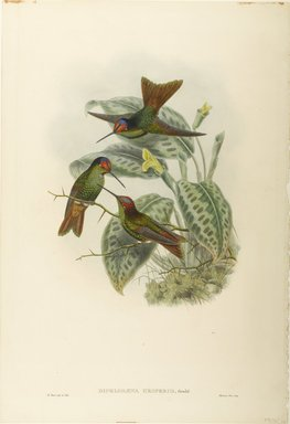John Gould (British, 1804-1881). <em>Dipholgaena Hesperus: Hesperus Rainbow</em>. Lithograph in color on wove paper, 21 1/2 x 14 3/8 in. (54.6 x 36.5 cm). Brooklyn Museum, Gift of the Estate of Emily Winthrop Miles, 64.98.252 (Photo: Brooklyn Museum, 64.98.252_PS9.jpg)
