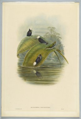 John Gould (British, 1804-1881). <em>Microchera Parvirostris: Purple Snowcap</em>. Lithograph in color on wove paper, 21 1/2 x 14 3/8 in. (54.6 x 36.5 cm). Brooklyn Museum, Gift of the Estate of Emily Winthrop Miles, 64.98.253 (Photo: Brooklyn Museum, 64.98.253_PS2.jpg)