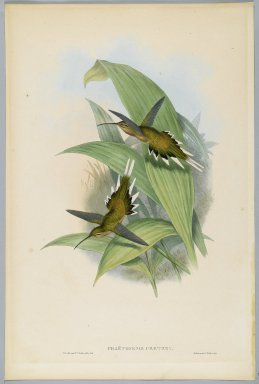 John Gould (British, 1804-1881). <em>Phaethornis Pretrei</em>. Lithograph in color on wove paper, 21 1/2 x 14 3/8 in. (54.6 x 36.5 cm). Brooklyn Museum, Gift of the Estate of Emily Winthrop Miles, 64.98.255 (Photo: Brooklyn Museum, 64.98.255_PS2.jpg)
