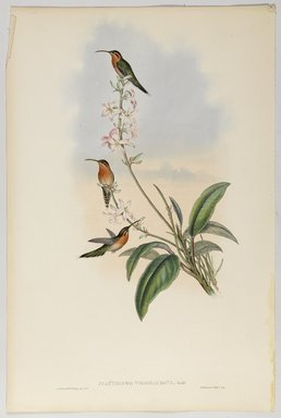 John Gould (British, 1804-1881). <em>Phaethornis Viridicaudata</em>. Lithograph in color on wove paper, 21 1/2 x 14 3/8 in. (54.6 x 36.5 cm). Brooklyn Museum, Gift of the Estate of Emily Winthrop Miles, 64.98.256 (Photo: Brooklyn Museum, 64.98.256_PS9.jpg)