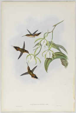 John Gould (British, 1804-1881). <em>Phaethornis Zonura</em>. Lithograph in color on wove paper, 21 1/2 x 14 3/8 in. (54.6 x 36.5 cm). Brooklyn Museum, Gift of the Estate of Emily Winthrop Miles, 64.98.257 (Photo: Brooklyn Museum, 64.98.257_PS9.jpg)