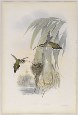John Gould (British, 1804-1881). <em>Phaethornis Eurynome</em>. Lithograph in color on wove paper, 21 1/2 x 14 3/8 in. (54.6 x 36.5 cm). Brooklyn Museum, Gift of the Estate of Emily Winthrop Miles, 64.98.258 (Photo: Brooklyn Museum, 64.98.258_PS9.jpg)