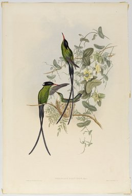 John Gould (British, 1804-1881). <em>Trochilus Polytnus</em>. Lithograph in color on wove paper, 21 1/2 x 14 3/8 in. (54.6 x 36.5 cm). Brooklyn Museum, Gift of the Estate of Emily Winthrop Miles, 64.98.259 (Photo: Brooklyn Museum, 64.98.259_PS9.jpg)