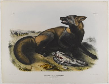 John James  Audubon (American, born Haiti, 1785-1851). <em>American Cross Fox</em>. Lithograph, 21 x 27 in. (53.3 x 68.6 cm). Brooklyn Museum, Gift of the Estate of Emily Winthrop Miles, 64.98.25 (Photo: Brooklyn Museum, 64.98.25_IMLS_PS4.jpg)