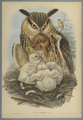 John Gould (British, 1804-1881). <em>Bubo Maximus: Owl</em>. Lithograph in color on wove paper, 21 1/2 x 14 5/8 in. (54.6 x 37.1 cm). Brooklyn Museum, Gift of the Estate of Emily Winthrop Miles, 64.98.260 (Photo: Brooklyn Museum, 64.98.260_PS2.jpg)