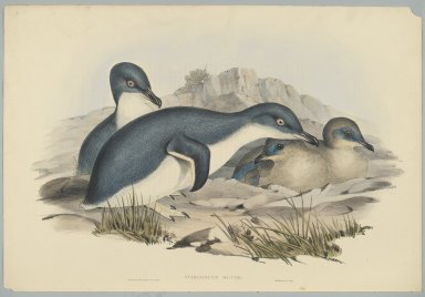 John Gould (British, 1804-1881). <em>Spheniscus Minor</em>. Lithograph in color on wove paper, 20 7/8 x 13 7/8 in. (53 x 35.2 cm). Brooklyn Museum, Gift of the Estate of Emily Winthrop Miles, 64.98.261 (Photo: Brooklyn Museum, 64.98.261_PS2.jpg)