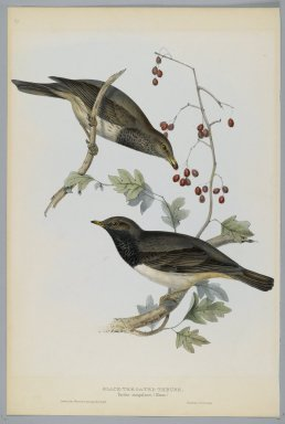 John Gould (British, 1804-1881). <em>Turdus Atrogularis: Black Throated Thrush</em>. Lithograph in color on wove paper, 20 7/8 x 13 7/8 in. (53 x 35.2 cm). Brooklyn Museum, Gift of the Estate of Emily Winthrop Miles, 64.98.262 (Photo: Brooklyn Museum, 64.98.262_PS2.jpg)