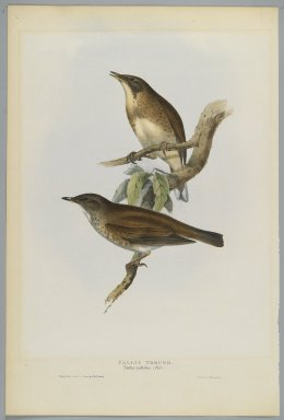 John Gould (British, 1804-1881). <em>Turdus Pallidus: Pallid Thrush</em>. Lithograph in color on wove paper, 20 7/8 x 13 7/8 in. (53 x 35.2 cm). Brooklyn Museum, Gift of the Estate of Emily Winthrop Miles, 64.98.263 (Photo: Brooklyn Museum, 64.98.263_PS2.jpg)