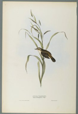 John Gould (British, 1804-1881). <em>Salicaria Phragmatis: Sedge Warbler</em>. Lithograph in color on wove paper, 20 7/8 x 13 7/8 in. (53 x 35.2 cm). Brooklyn Museum, Gift of the Estate of Emily Winthrop Miles, 64.98.265 (Photo: Brooklyn Museum, 64.98.265_PS2.jpg)