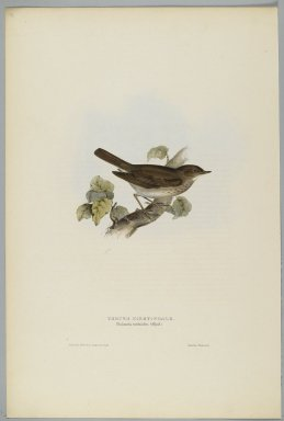 John Gould (British, 1804-1881). <em>Philomela Turdoides: Thrush Nightengale</em>. Lithograph in color on wove paper, 20 7/8 x 13 7/8 in. (53 x 35.2 cm). Brooklyn Museum, Gift of the Estate of Emily Winthrop Miles, 64.98.266 (Photo: Brooklyn Museum, 64.98.266_PS2.jpg)