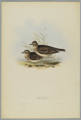 John Gould (British, 1804-1881). <em>Alanda Aruensis: Sky Lark</em>. Lithograph in color on wove paper, 20 7/8 x 13 7/8 in. (53 x 35.2 cm). Brooklyn Museum, Gift of the Estate of Emily Winthrop Miles, 64.98.267 (Photo: Brooklyn Museum, 64.98.267_PS2.jpg)