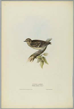 John Gould (British, 1804-1881). <em>Alunda Arborea: Wood Lark</em>. Lithograph in color on wove paper, 20 7/8 x 13 7/8 in. (53 x 35.2 cm). Brooklyn Museum, Gift of the Estate of Emily Winthrop Miles, 64.98.268 (Photo: Brooklyn Museum, 64.98.268_PS2.jpg)