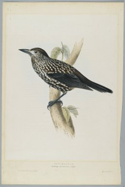 John Gould (British, 1804-1881). <em>Nucifraga Caryocatactes: Nutcracker</em>. Lithograph in color on wove paper, 20 7/8 x 13 7/8 in. (53 x 35.2 cm). Brooklyn Museum, Gift of the Estate of Emily Winthrop Miles, 64.98.269 (Photo: Brooklyn Museum, 64.98.269_PS2.jpg)