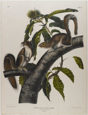 John James  Audubon (American, born Haiti, 1785-1851). <em>Carolina Grey Squirrel</em>. Lithograph, 27 x 21 in. (68.6 x 53.3 cm). Brooklyn Museum, Gift of the Estate of Emily Winthrop Miles, 64.98.26 (Photo: Brooklyn Museum, 64.98.26_IMLS_PS4.jpg)