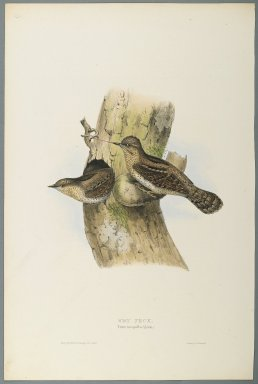 John Gould (British, 1804-1881). <em>Yunx Torquilla: Wry Neck</em>. Lithograph in color on wove paper, 20 7/8 x 13 7/8 in. (53 x 35.2 cm). Brooklyn Museum, Gift of the Estate of Emily Winthrop Miles, 64.98.270 (Photo: Brooklyn Museum, 64.98.270_PS2.jpg)