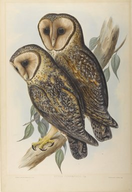 John Gould (British, 1804-1881). <em>Strix Personata</em>. Lithograph in color on wove paper, 21 5/8 x 14 11/16 in. (54.9 x 37.3 cm). Brooklyn Museum, Gift of the Estate of Emily Winthrop Miles, 64.98.272 (Photo: Brooklyn Museum, 64.98.272_PS9.jpg)
