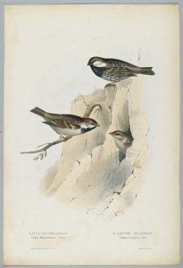 John Gould (British, 1804-1881). <em>Pyrgita Cisalpina & Hispaniolensis</em>. Lithograph in color on wove paper, 20 7/8 x 13 7/8 in. (53 x 35.2 cm). Brooklyn Museum, Gift of the Estate of Emily Winthrop Miles, 64.98.273 (Photo: Brooklyn Museum, 64.98.273_PS2.jpg)
