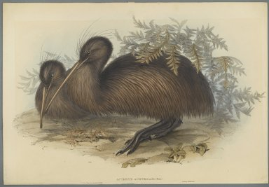 John Gould (British, 1804-1881). <em>Apteryx Australis</em>. Lithograph in color on wove paper, 21 3/8 x 14 3/4 in. (54.3 x 37.5 cm). Brooklyn Museum, Gift of the Estate of Emily Winthrop Miles, 64.98.274 (Photo: Brooklyn Museum, 64.98.274_PS2.jpg)