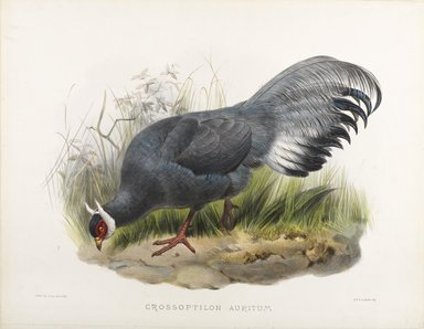 John Gould (British, 1804-1881). <em>Grossptilon Auritum</em>. Lithograph in color on wove paper, 23 1/8 x 17 7/8 in. (58.7 x 45.4 cm). Brooklyn Museum, Gift of the Estate of Emily Winthrop Miles, 64.98.275 (Photo: Brooklyn Museum, 64.98.275_PS9.jpg)