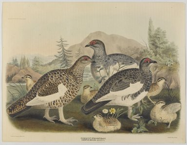 John Gould (British, 1804-1881). <em>Common Ptarmigan: Lagopus Mutus, Adult and Young</em>. Lithograph in color on wove paper, 23 1/8 x 17 7/8 in. (58.7 x 45.4 cm). Brooklyn Museum, Gift of the Estate of Emily Winthrop Miles, 64.98.276 (Photo: Brooklyn Museum, 64.98.276_PS9.jpg)
