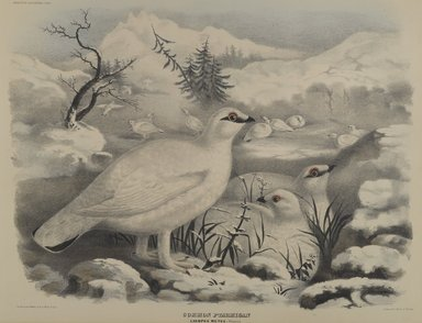 John Gould (British, 1804-1881). <em>Common Ptarmigan</em>. Lithograph on wove paper, 23 1/8 x 17 7/8 in. (58.7 x 45.4 cm). Brooklyn Museum, Gift of the Estate of Emily Winthrop Miles, 64.98.277 (Photo: Brooklyn Museum, 64.98.277_PS4.jpg)