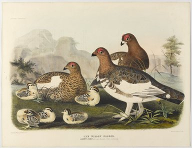 John Gould (British, 1804-1881). <em>Lagopus Albus</em>. Lithograph in color, 23 1/8 x 17 7/8 in. (58.7 x 45.4 cm). Brooklyn Museum, Gift of the Estate of Emily Winthrop Miles, 64.98.278 (Photo: Brooklyn Museum, 64.98.278_PS9.jpg)