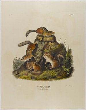 John James  Audubon (American, born Haiti, 1785-1851). <em>Chipping Squirrel Hackee</em>. Lithograph, 27 x 21 in. (68.6 x 53.3 cm). Brooklyn Museum, Gift of the Estate of Emily Winthrop Miles, 64.98.27 (Photo: Brooklyn Museum, 64.98.27_IMLS_PS4.jpg)