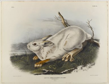 John James  Audubon (American, born Haiti, 1785-1851). <em>Northern Hare (Winter Pelage)</em>. Lithograph, 21 x 27 in. (53.3 x 68.6 cm). Brooklyn Museum, Gift of the Estate of Emily Winthrop Miles, 64.98.28 (Photo: Brooklyn Museum, 64.98.28_IMLS_PS4.jpg)