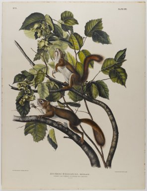 John James  Audubon (American, born Haiti, 1785-1851). <em>Hudson's Bay Squirrel - Chicaree - Red Squirrel</em>. Lithograph, 21 x 27 in. (53.3 x 68.6 cm). Brooklyn Museum, Gift of the Estate of Emily Winthrop Miles, 64.98.29 (Photo: Brooklyn Museum, 64.98.29_IMLS_PS4.jpg)