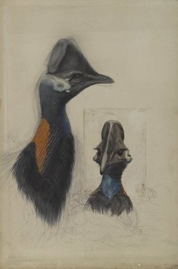 John Gould (British, 1804-1881). <em>Casuarius Westerman</em>, 1873. Watercolor, opaque watercolor, charcoal, graphite, and selectively applied glaze on wove paper, 22 1/2 × 15 13/16 in. (57.2 × 40.2 cm). Brooklyn Museum, Gift of the Estate of Emily Winthrop Miles, 64.98.307 (Photo: Brooklyn Museum, 64.98.307_PS4.jpg)
