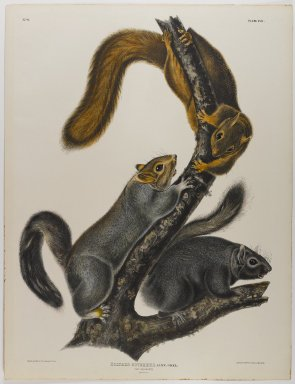 John James  Audubon (American, born Haiti, 1785-1851). <em>Cat Squirrel</em>. Lithograph, 27 x 21 in. (68.6 x 53.3 cm). Brooklyn Museum, Gift of the Estate of Emily Winthrop Miles, 64.98.30 (Photo: Brooklyn Museum, 64.98.30_IMLS_PS4.jpg)